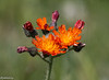 Hawkweed comes in several types and colors.  Very common in pastures, fields and roadsides.