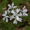 Clump of Wild Phlox.  Usually May blooming, also known as Wild Sweet William.  Comes in several different colors.  I liked the slight violet highlights to this one.
