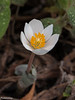 Bloodroot, one of the earliest spring blooms.