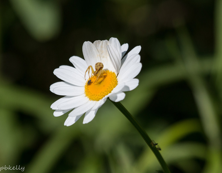 Daisies are frequent hosts for all sorts of insects.  This Crab Spider is about to snag dinner.