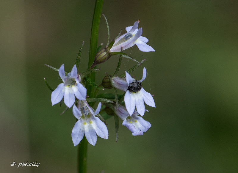 Pale-spiked Lobelia, Lobelia spicata, with friend.  These flowers are very tiny and the plant is easy to overlook.  I have no idea what the insect is.