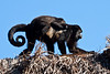 Wild Howler Monkeys