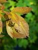 brownleavesgreenback