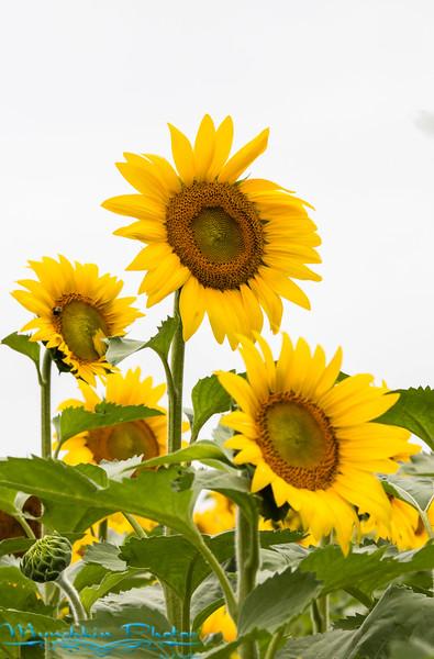 McKee-Beshers Sunflowers