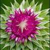 Purple Thistle. Copyright © 2008 - John J. Holland, All Rights Reserved  Wildflower Walk - May 1, 2008