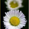 Philly Fleabane. Copyright © 2008 - John J. Holland, All Rights Reserved  Wildflower Walk - May 1, 2008