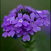 Prairie Verbena. Copyright © 2008 - John J. Holland, All Rights Reserved  Wildflower Walk - May 1, 2008