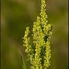 Wild Buckwheat.  Copyright © 2008 - John J. Holland, All Rights Reserved  Wildflower Walk - May 1, 2008