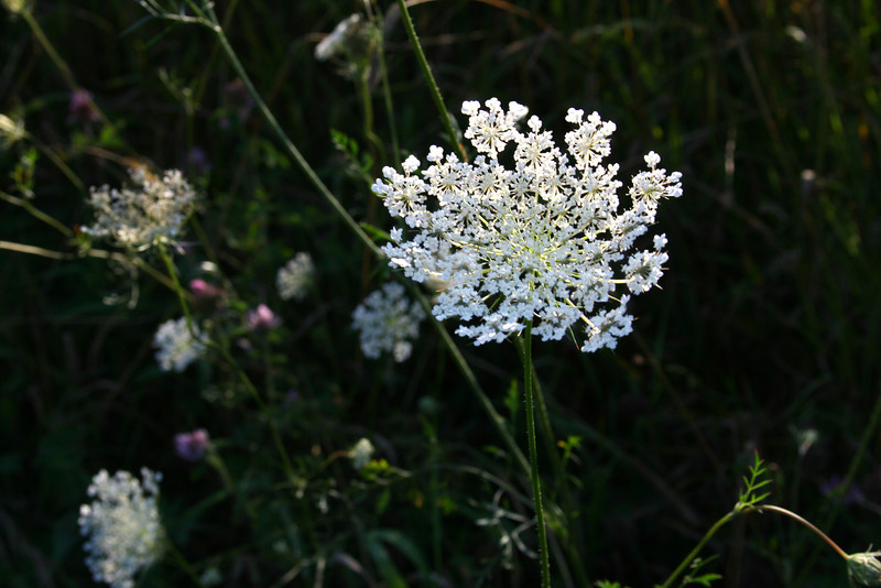 Michigan's best: Queen Anne's Lace wildflower blooming in the meadow.