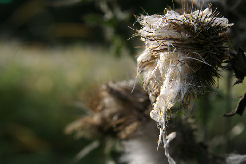Portrait of a thistle. Dramatic shot showing the fluffy seed pod of a thistle in late autumn.