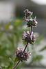 9550- Black Sage
