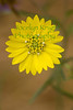 Tarweed, on Ring Mountain, Calif. in July 2009.