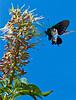 Pipevine Swallowtail on Buckeye flowers at Audubon Canyon Ranch, Stinson Beach, California