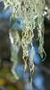 Lace Lichen