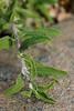 9554-Black Sage leaves