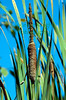 Cattails at ACR's Volunteer Canyon in September, 2011.