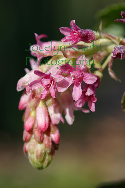 9508 Ribes - blooming Currant