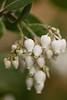 9570 Manzanita Blossoms in January