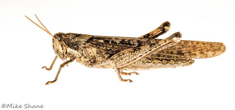 Gray Bird Grasshopper (Schistocerca nitens)