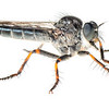 Robber Fly (Efferia pogonias)