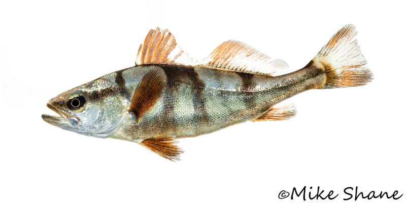 An 80 day old juvenile white seabass (Atractoscion nobilis).