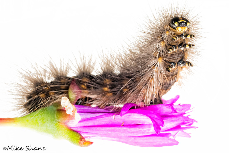 Salt Marsh Moth caterpillar (Estigmene acrea)