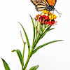 Monarch Butterfly (Danaus plexippus) on Mexican Whorled Narrow-Leaf Milkweed (Asclepias fascicularis)