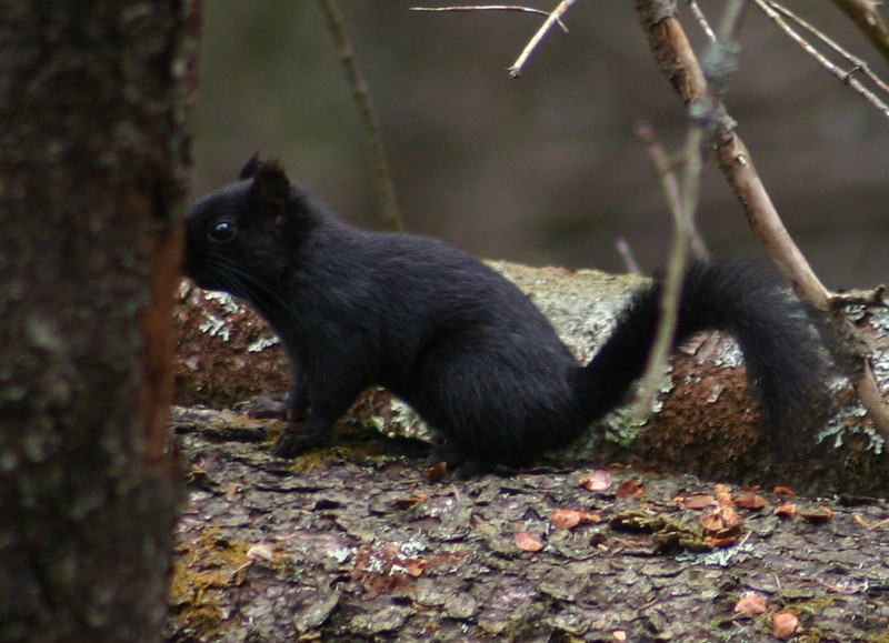 Melanistic Red Squirrel - Nine Mile River, Nova Scotia March 22nd, 2010