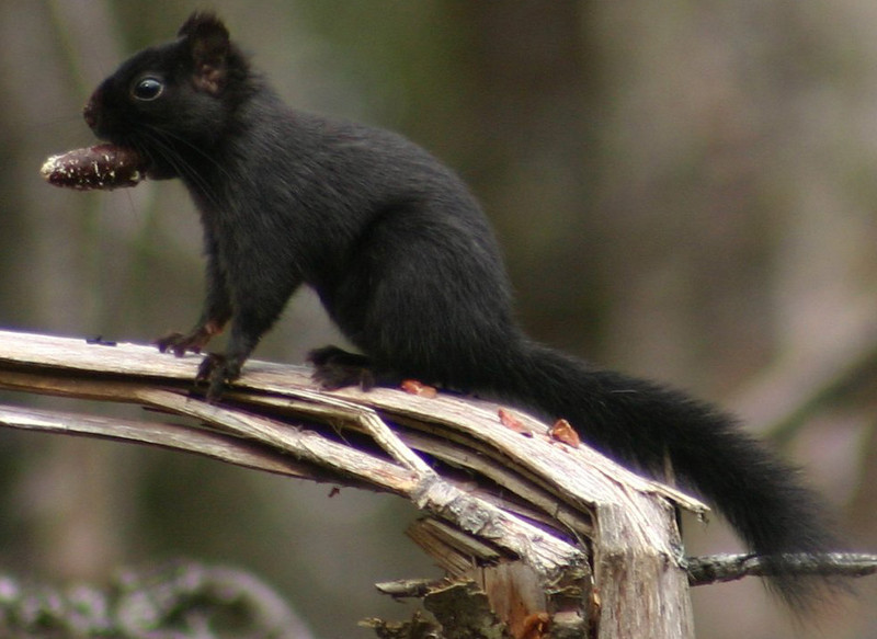 Melanistic Red Squirrel - Nine Mile River Nova Scotia March 22nd 2010