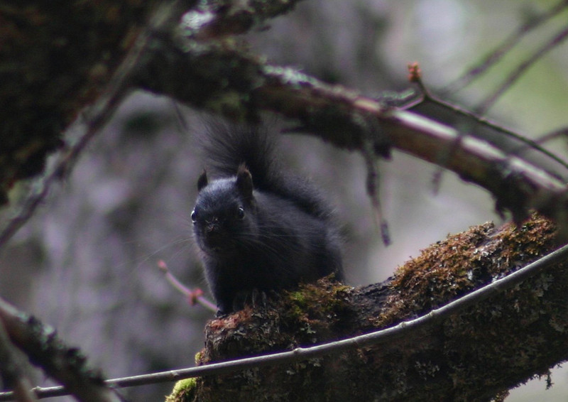 Melanistic Red Squirrel - Nine Mile River, Nova Scotia, March 22nd 2010