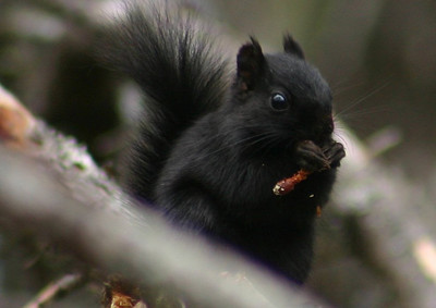 Melanistic Red Squirrel - Nine Mile River Nova Scotia March 22nd 2010