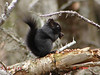 Melanistic Red Squirrel pic by Rita Viau March 22nd 2010, Nine Mile River N.S.