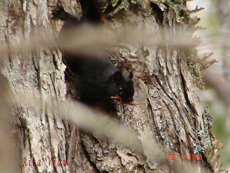 Melanistic Red Squirrel pic by Rita Viau Nine Mile River N.S. March 22ND 2010