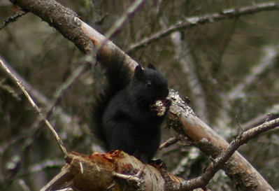 Melanistic Red Squirrel - Nine Mile River, Nova Scotia March 22nd 2010