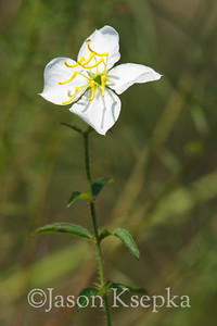 Rhexia mariana, Pale Meadowbeauty; Baldwin County, Alabama  2013-09-26  #5