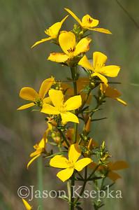 Rhexia lutea, Yellow Meadow Beauty; Franklin County, Florida  2013-05-25  #8
