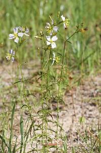 Rhexia parviflora, panhandle meadowbeauty; Liberty County, Florida 2016-05-24   2