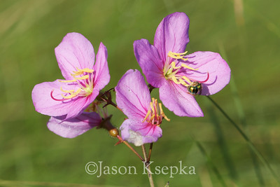 Rhexia alifanus, Tall Meadow Beauty; Brunswick County, North Carolina  2012-07-17  #3