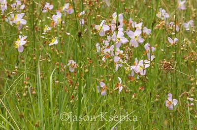 Rhexia mariana, Pale Meadow Beauty; Burlington County, New Jersey  2012-07-10  #4