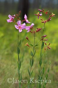 Rhexia alfanus, Tall Meadow Beauty; Liberty County, Florida  2013-05-25  #1