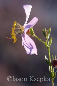 Rhexia salicifolia, Panhandle Meadowbeauty; Washington County, Florida  2013-09-27  #12