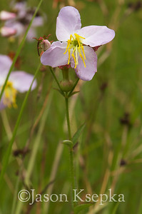 Rhexia mariana, Pale Meadow Beauty; Burlington County,  New Jersey  2012-07-10  #3