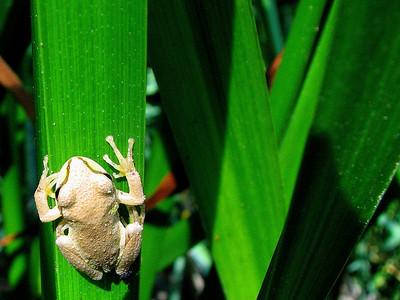 Pacific Chorus Frog, Willits, CA