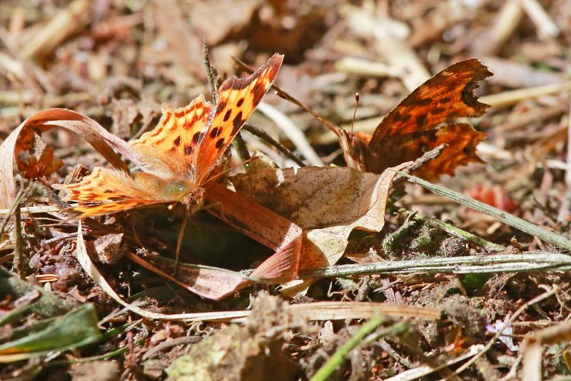 Butterflies8735
