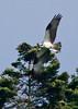 Osprey&fish8706