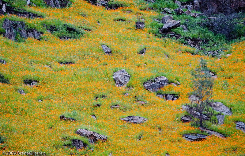 Carpet of Poppies<br /> <br /> Merced River Gorge<br /> 1 March 2009