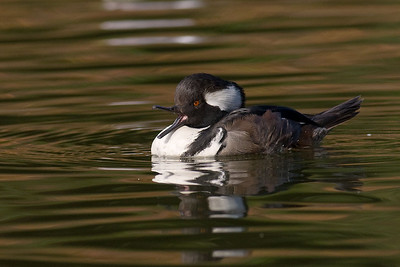 Juvy Male Hooded Merganser