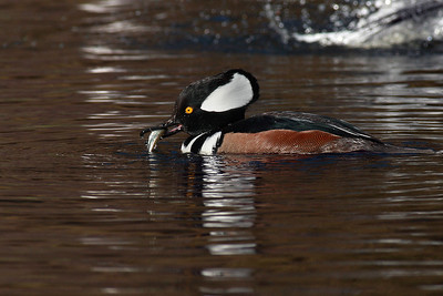 Male Hooded Merganser with fish
