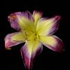 meridian-gardens-lilies-23