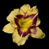 meridian-gardens-lilies-06